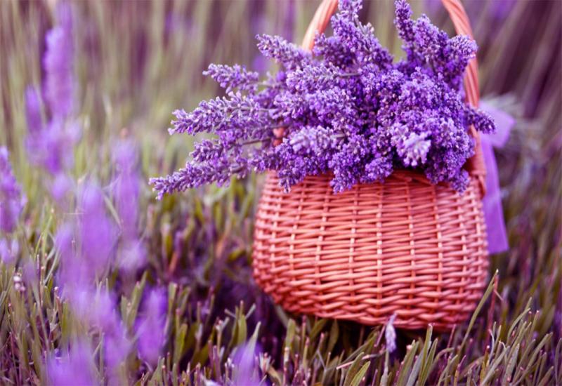 hoa lavender Đà Lạt