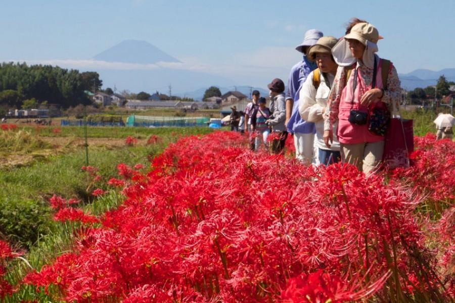 Lễ hội hoa Bỉ Ngạn Nhật Bản