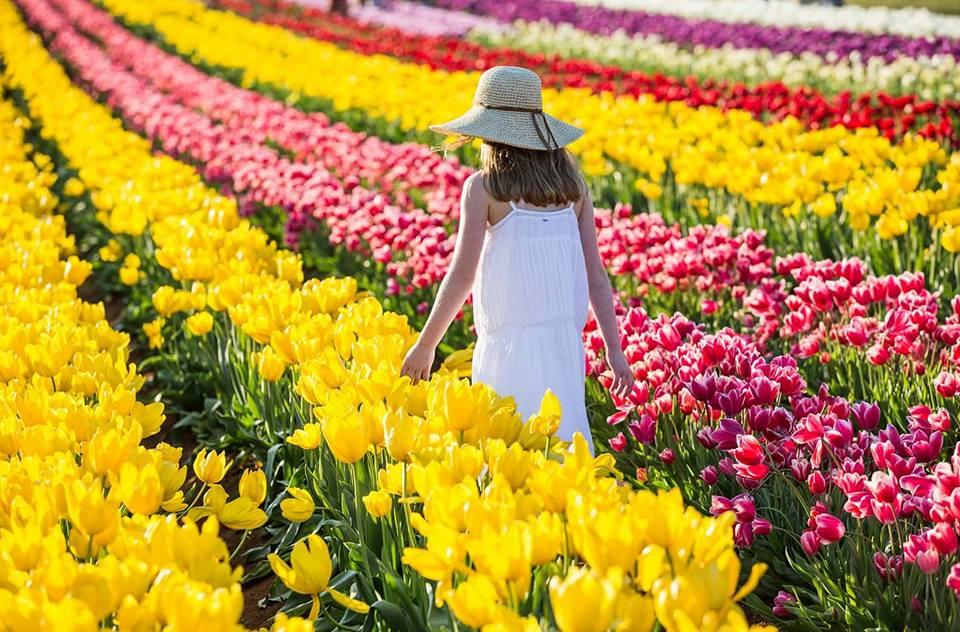 Du lịch Úc mùa Xuân ngập tràn sắc hoa tulip