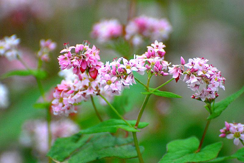 loài hoa tam giác mạch