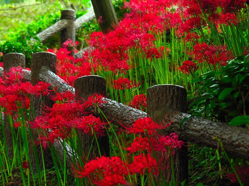 Cùng Du lịch Việt ngắm mùa hoa bỉ Ngạn Nhật Bản trong tháng 10