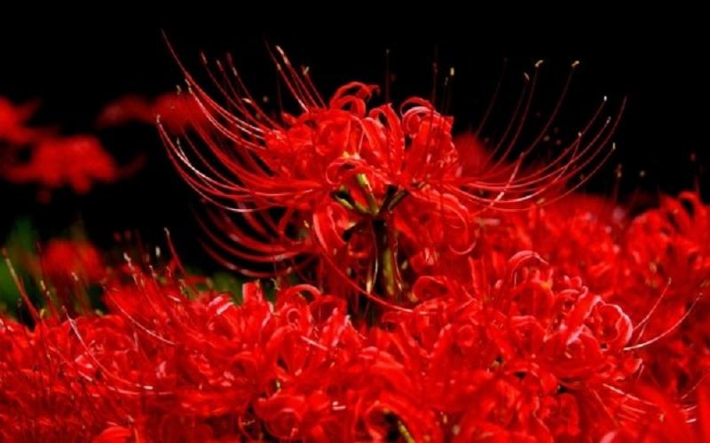 mùa hoa bỉ ngạn Nhật Bản