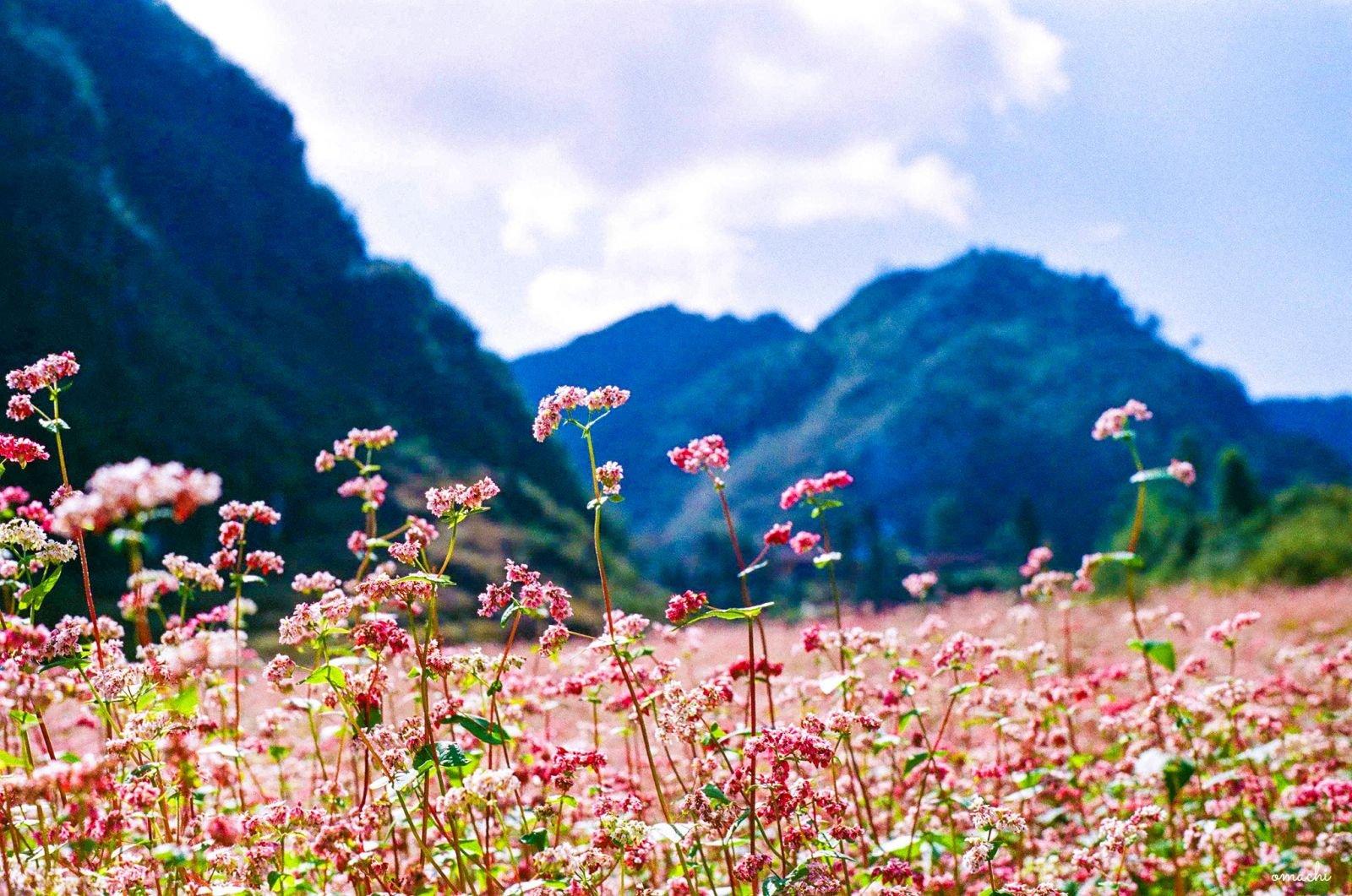 Vẻ đẹp của mùa hoa tam giác mạch Đông Bắc