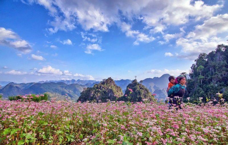 du lịch đông bắc mùa hoa tam giác mạch