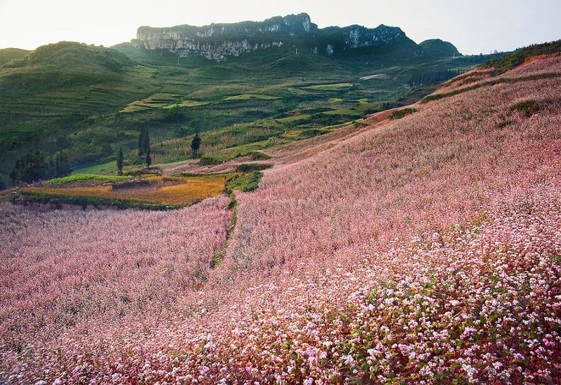 mùa hoa tam giác mạch ở Thung lũng Lũng Luông