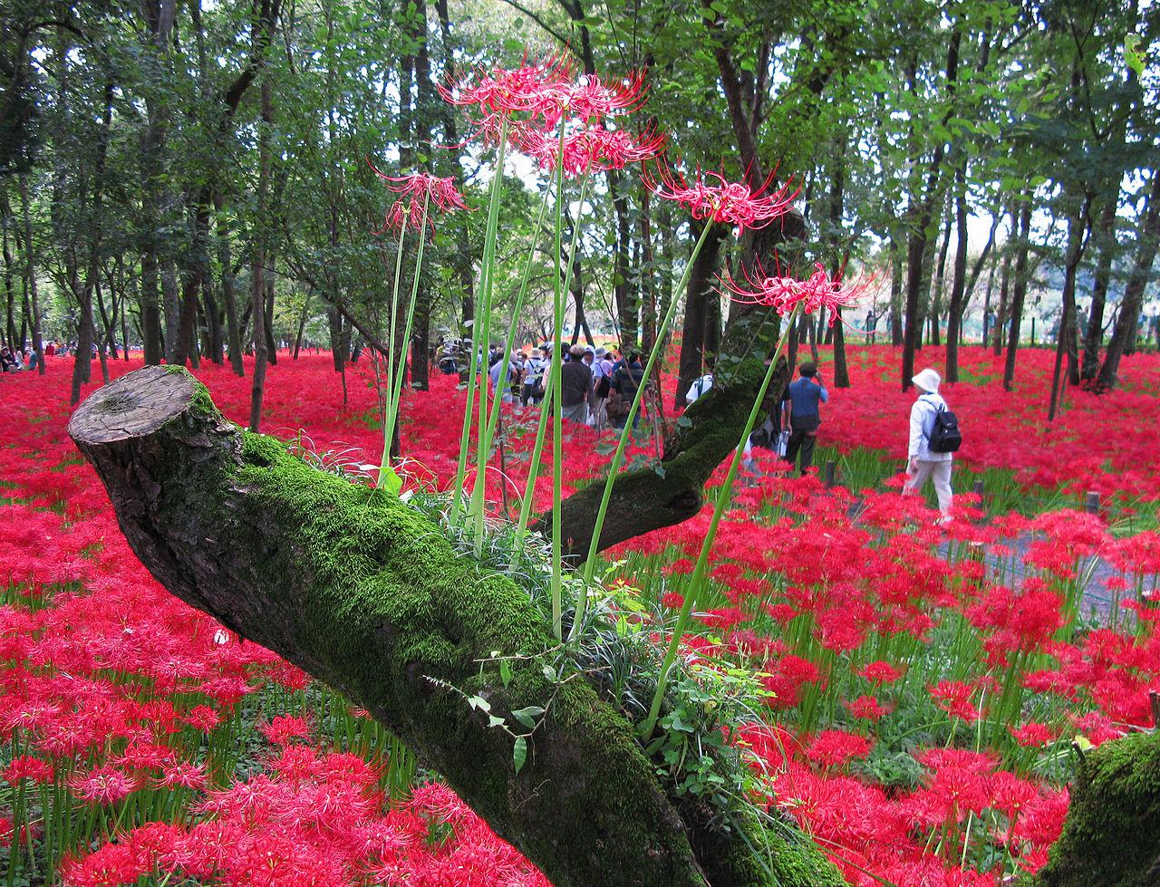 Hoa Bỉ ngạn Nhật Bản mọc ở khắp những triền đồi