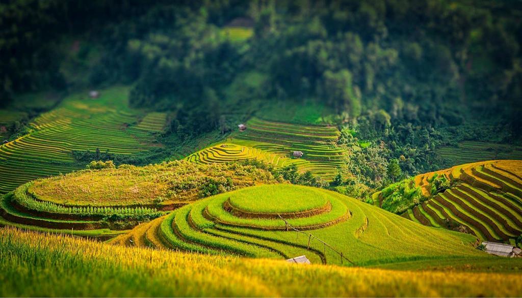 Khung cảnh bên ruộng bậc thang Yên Bái mùa lúa chín