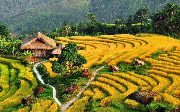 Mùa lúa chín Tây Bắc – tuyệt tác thiên nhiên dưới bàn tay con người Ruong-bac-thang-ha-giang-mua-lua-chin(1)