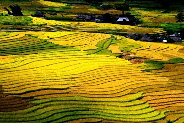 Vẻ đẹp riêng biệt vô cùng độc đáo của những thửa ruộng Tây Bắc vào mùa lúa chín