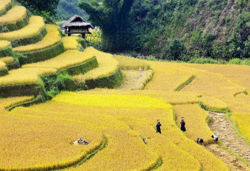 Mùa vàng trên ruộng bậc thang sapa