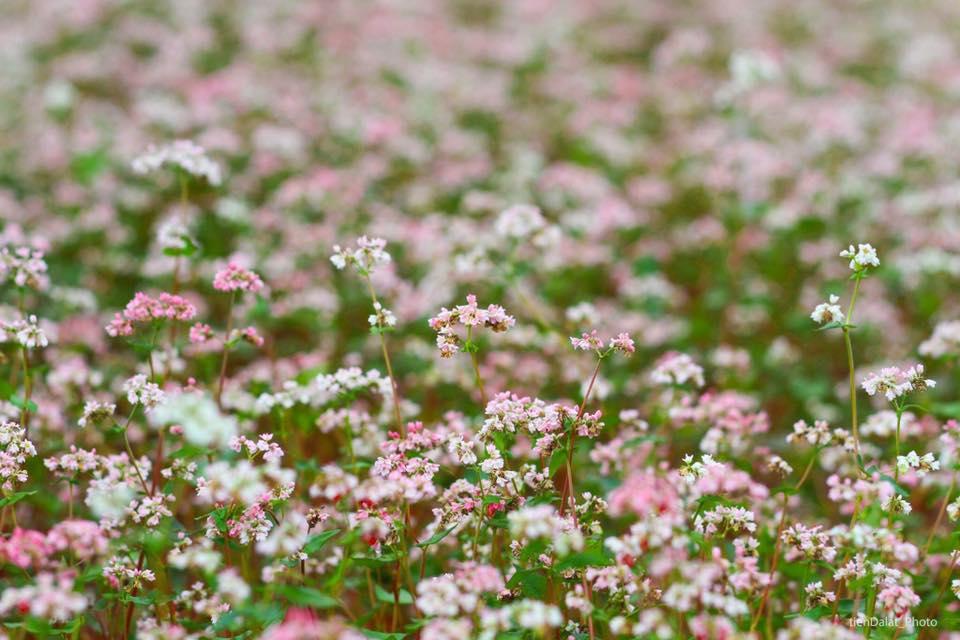 Vẻ đẹp của cánh đồng hoa tam giác mạch ở Tà Nung, Đà Lạt
