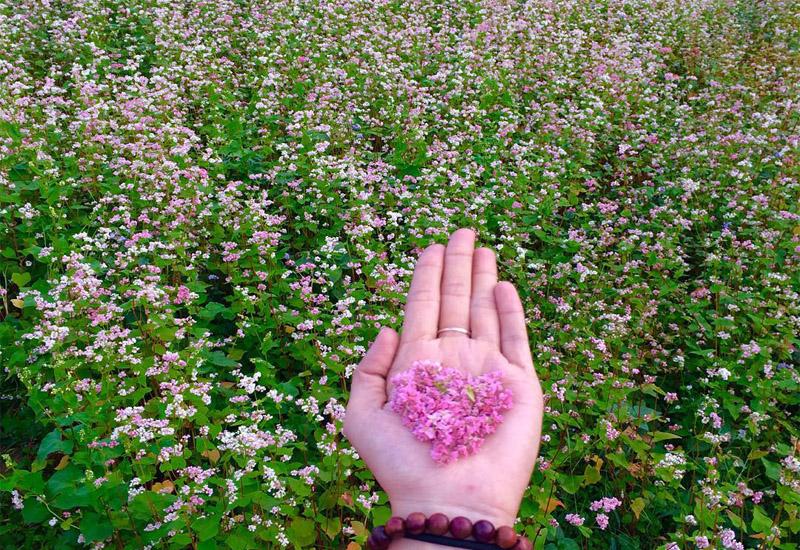 """Có hẹn"""" với mùa hoa tam giác mạch Đông Bắc tháng 10 đừng quên nhé!"""