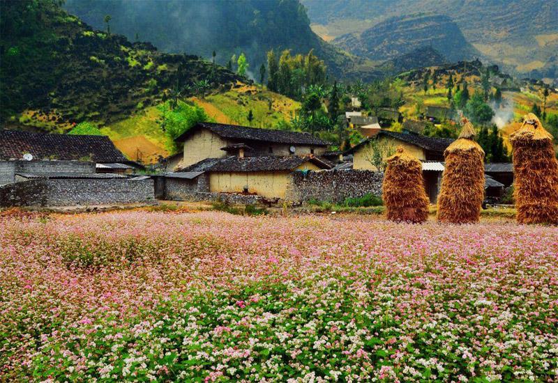 hoa tam giác mạch ở Thung lũng Sủng Là
