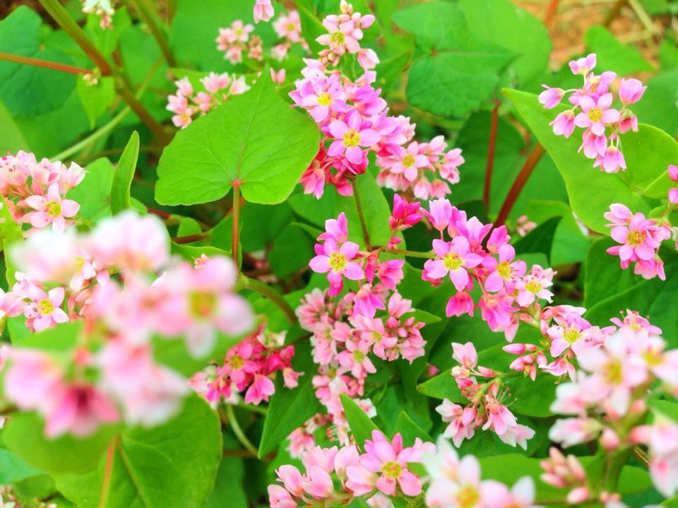 Vẻ đẹp của những bông hoa tam giác mạch nhỏ li ti vô cùng đẹp mắt