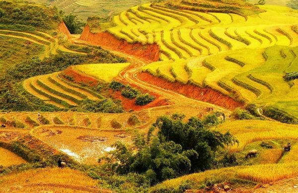 Mùa lúa chín vàng trên ruộng bậc thang Sapa
