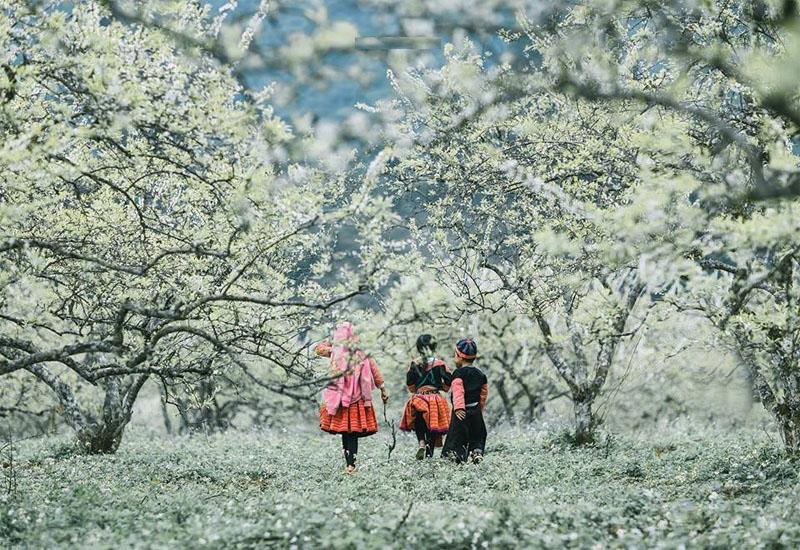 Vẻ đẹp của màu trắng hoa mận bao trùm bầu trời Đông Bắc vào xuân