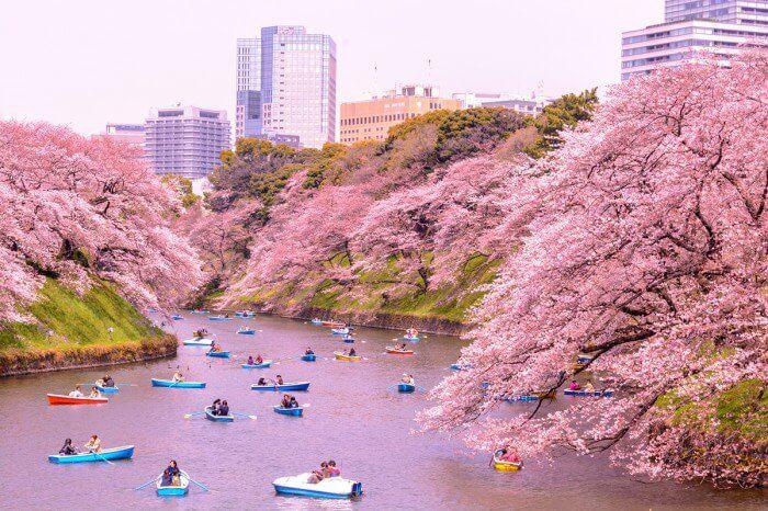Thời điểm du lịch Nhật Bản lý tưởng để ngắm hoa anh đào là tháng 3 - tháng 4