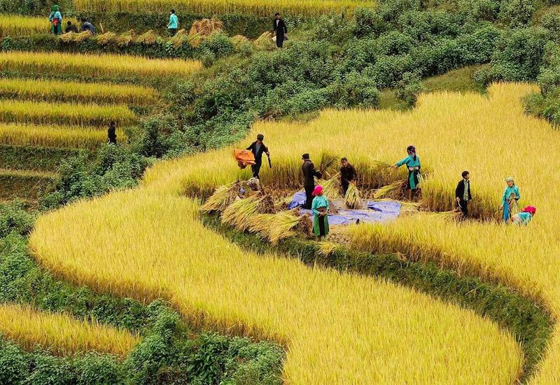 cảnh thu hoạch lúa trên ruộng bậc thang sapa