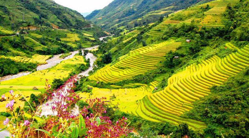 Mùa vàng trên thung lũng Mường Hoa ruộng bậc thang Sapa