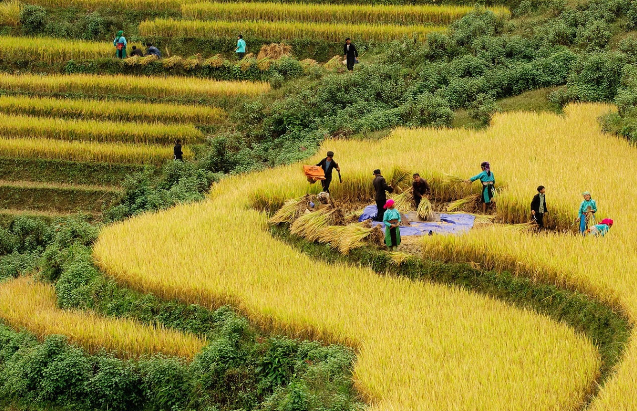 Tour Sapa mùa thu - Người dân lên nương gặt lúa chín vàng