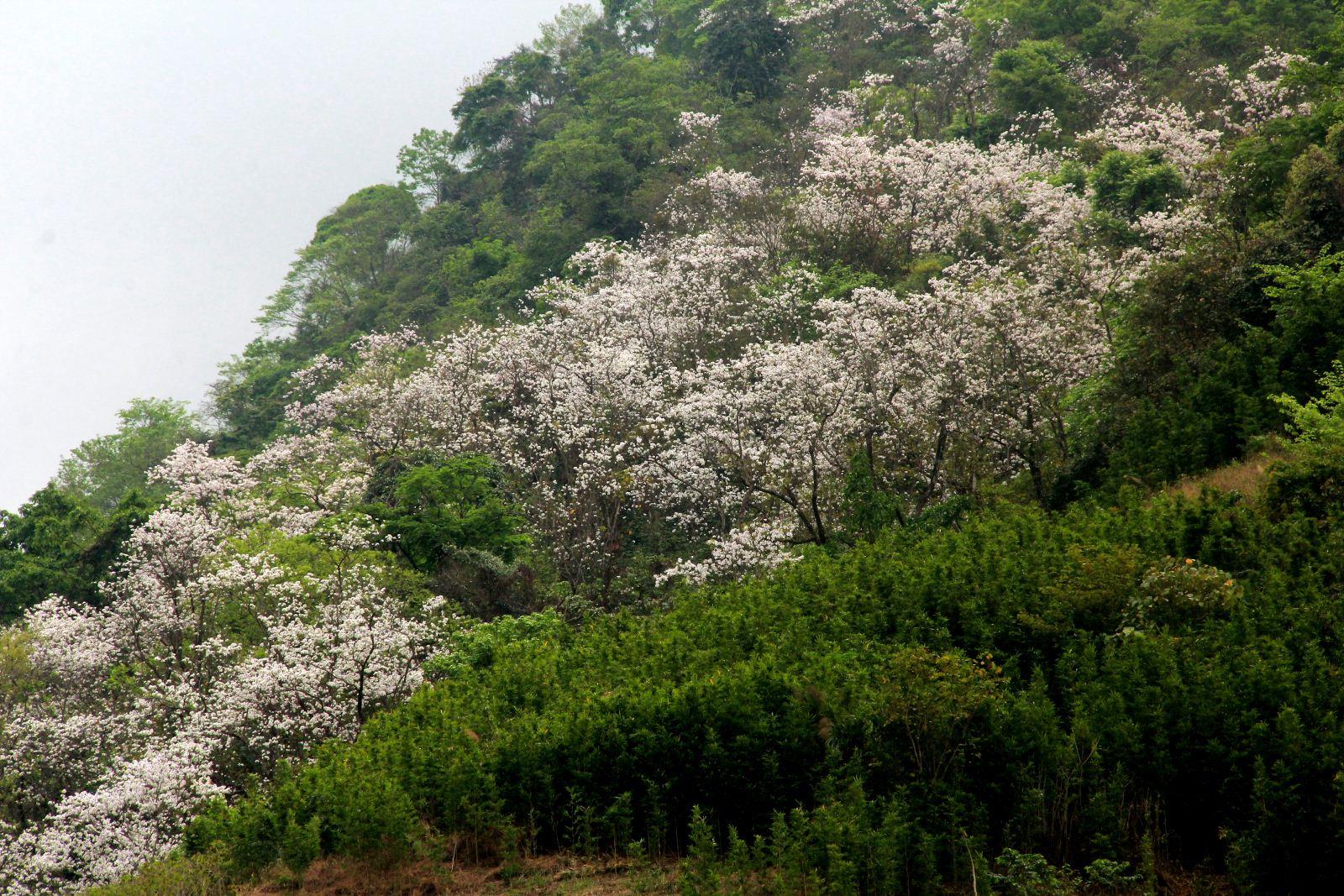 Hoa ban chỉ mọc ở vùng đồi núi, không mọc vườn như hoa mận, hoa mơ. tour tây bắc.