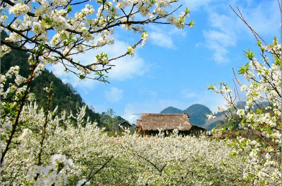 Tháng 3 về, ai mang tấm áo hoa ban rải khắp Tây Bắc, nhuộm trắng cả đất trời. Tour du lịch Tây Bắc.