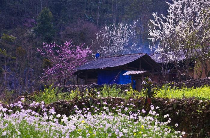Mùa xuân những mảnh màu hoa đào, hoa mơ nở khắp trong các thôn làng Sapa