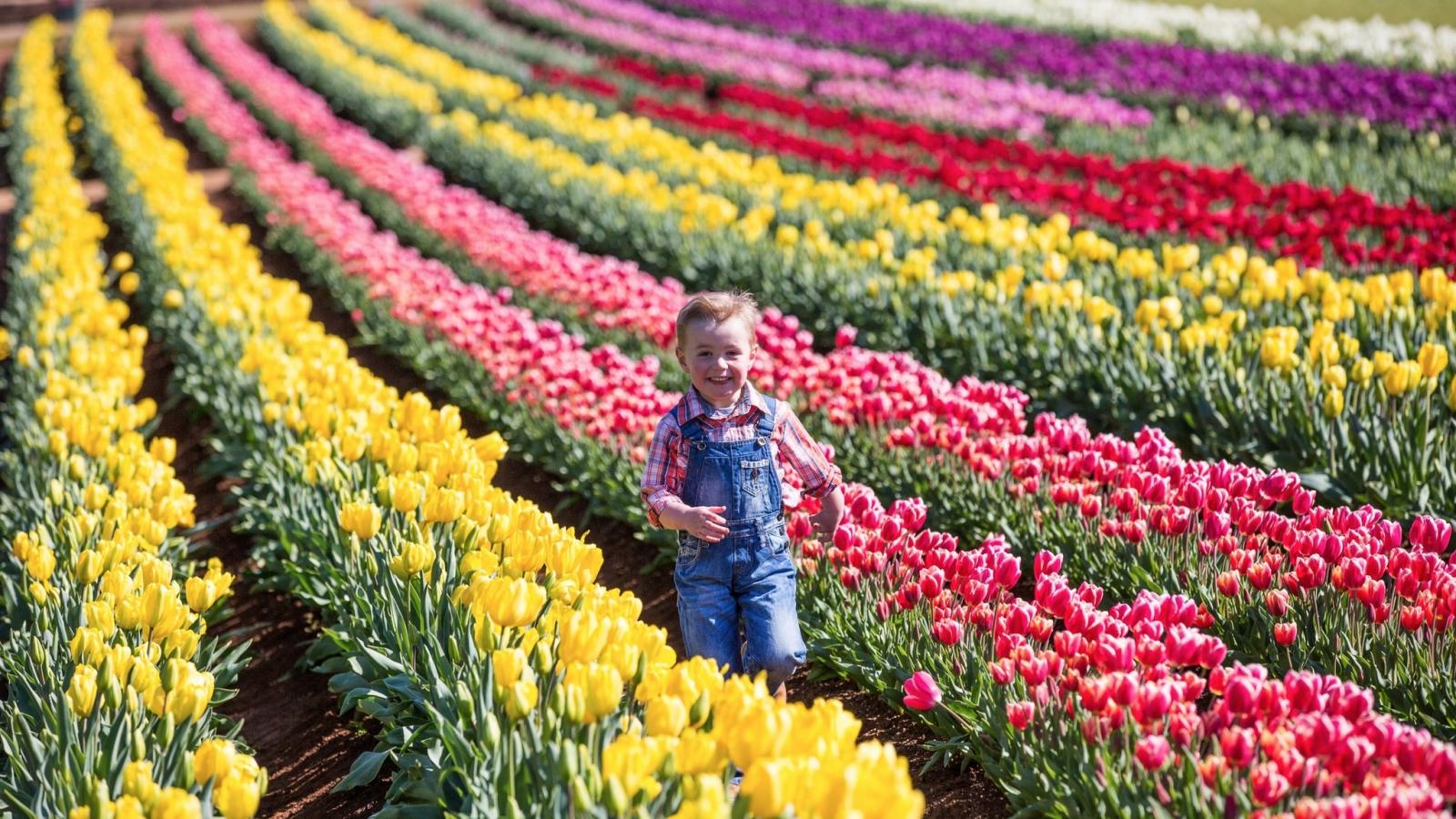 Du khách mê mẩn trước cánh đồng hoa tulip