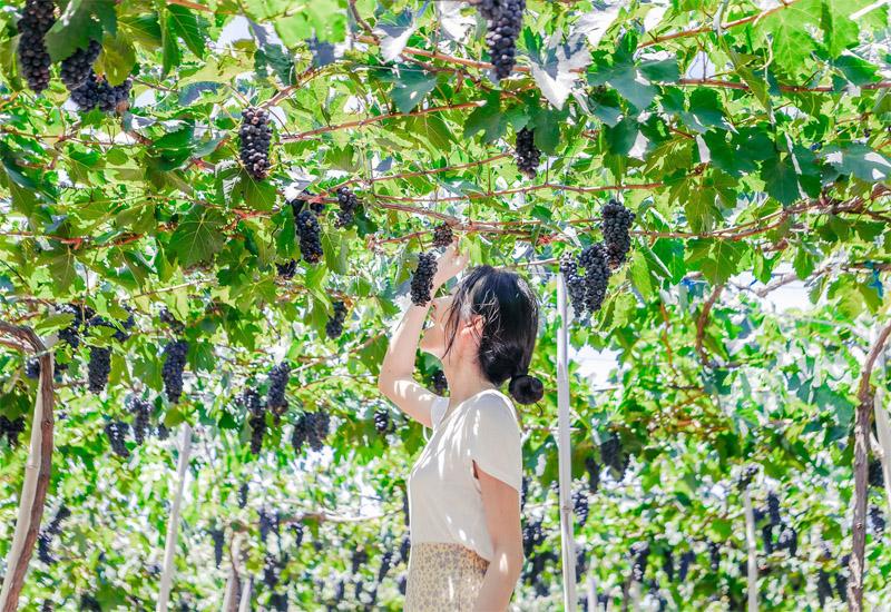 du lịch miền trung lễ 2/9 - vườn nho Ninh Thuận