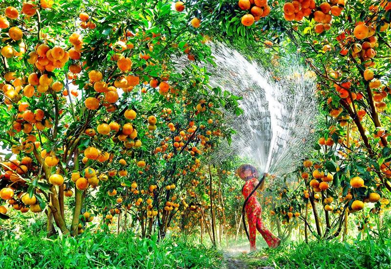 Vườn trái cây luôn là điểm đến thú vị mà nhiều du khách tìm đến khi đi du lịch Miền Tây